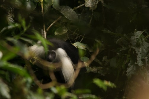 An angolan black and while colobus (Colobus angolensis)