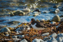 Oystercatcher with its three chicks.