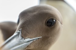 A close up pictre of the common murre. Research is done every year on the common murres in a unique project to know more about the baltic sea. The photo is taken from the a shelf researchers observe them from.