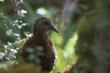 A weka (Gallirallus australis) coming out from the bushes.