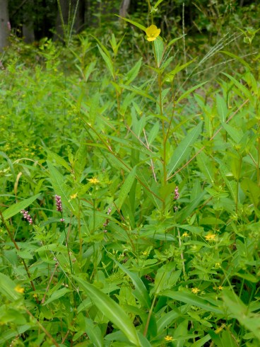 Seedbox (bright yellow), some unidentified tiny schoolbus-yellow flowers I mentioned in last entry thinking it was scarlet pimpernel, and smartweed.