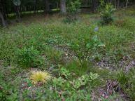 Acorus gramineus, pickerel rush, and bog bean planted in May-June 2014.