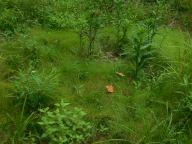 Some cool sedge that came up now that stilt grass is eradicated, along with water mint (left front) and cardinal flower
