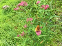 Swamp milkweed, with a pretty butterfly (a variegated fritillary?) taking a little sip.