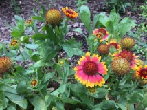 I love this gaillardia. Slowly spreading by seed throughout one of the front beds.