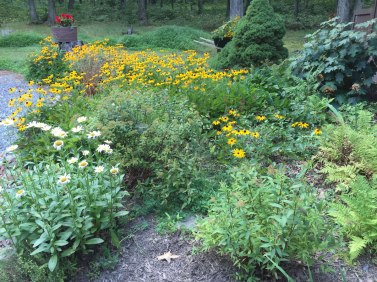 Bed to right as you look out front door. Much better without rudbeckia butting up to the ferns/shrubs.