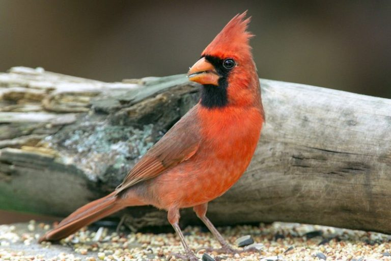 To Attract Cardinals
