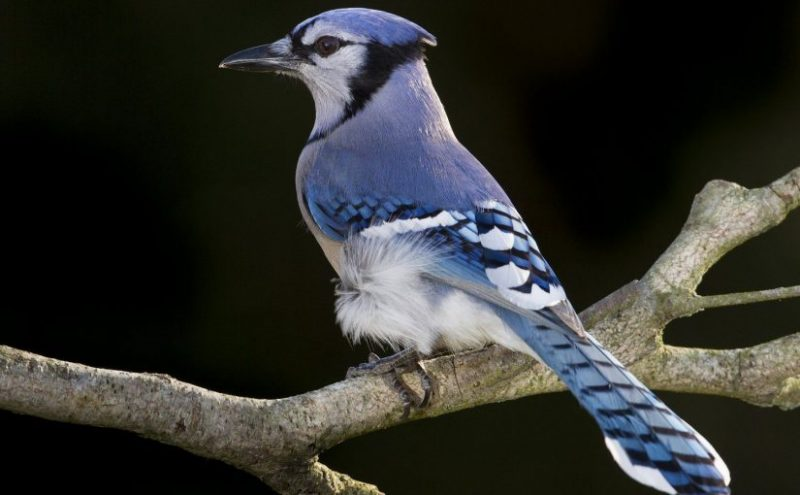 You will learn the best feeders, foods, and trees that attract Blue jays.