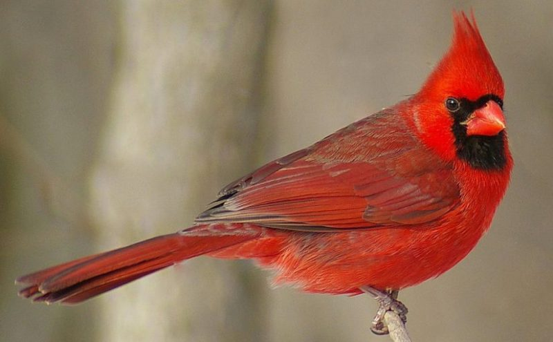 How to Attract Northern Cardinal To Your Feeders