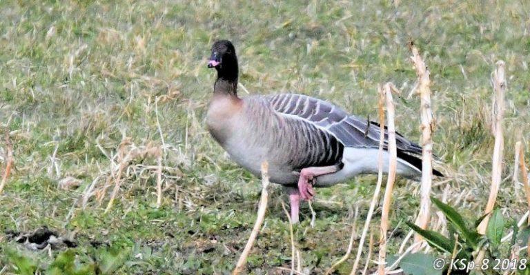 Babbling Goose.