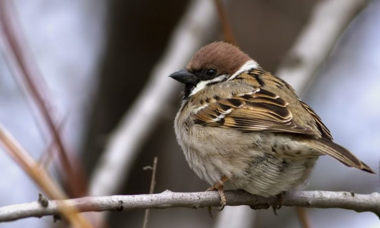 United States Tree Sparrow.