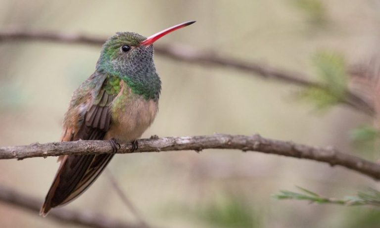 Buff-bellied Hummingbird.