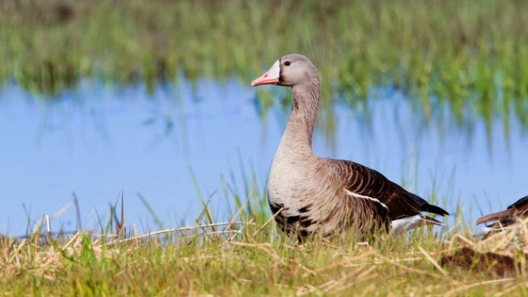 Greater White-fronted Goose.