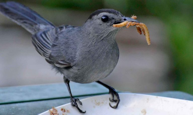 Birds That Eat Mealworms