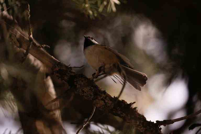 bird chirping at night