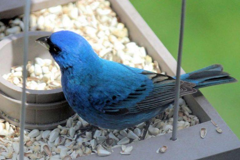 Birds That Consume Safflower Seeds