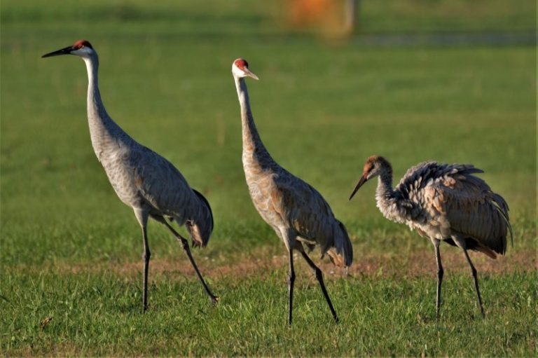 kentucky birds