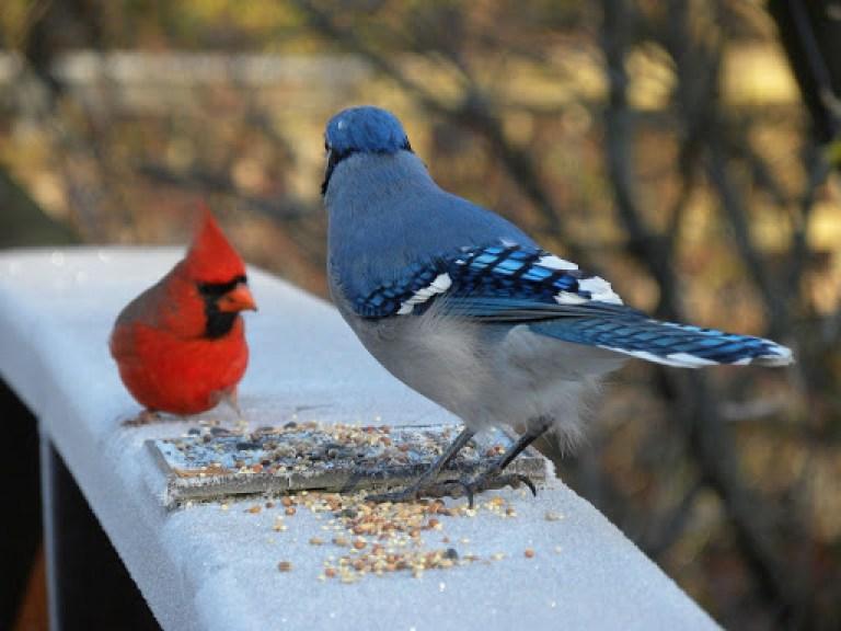 Blue Cardinal Birds