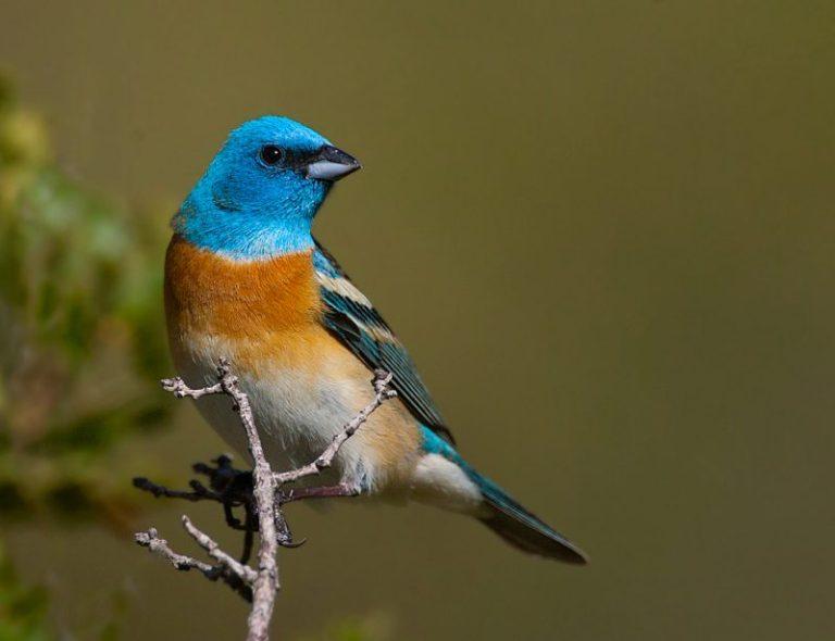 Blue Colored Birds
