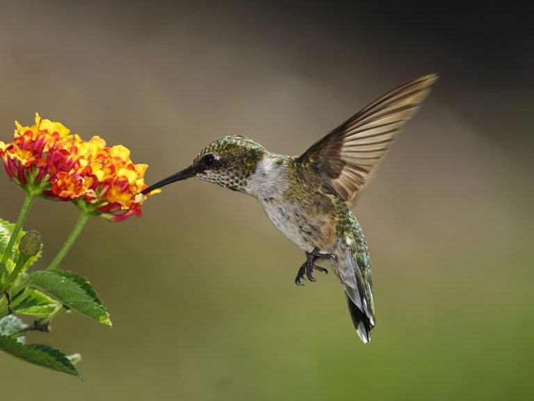 hummingbirds in illinois
