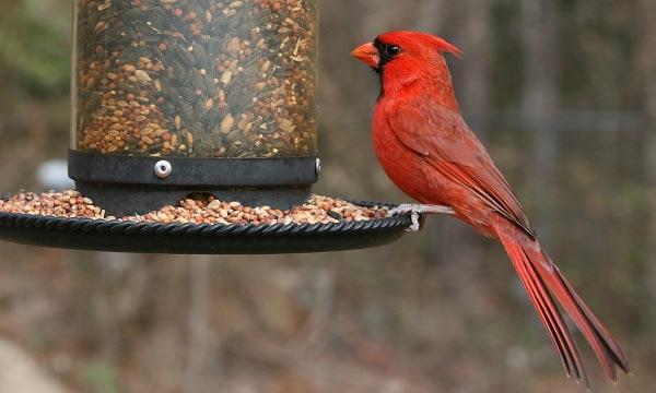 Benefits of Using a Cardinal Bird Feeder