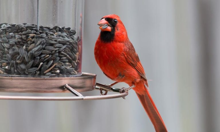 What is the Best Bird Food for Cardinals