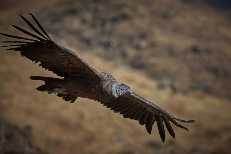 Andean Condor (Vultur gryphus)