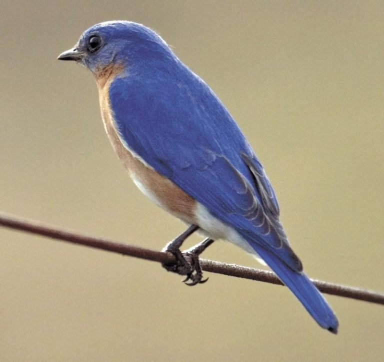 blue bird meaning