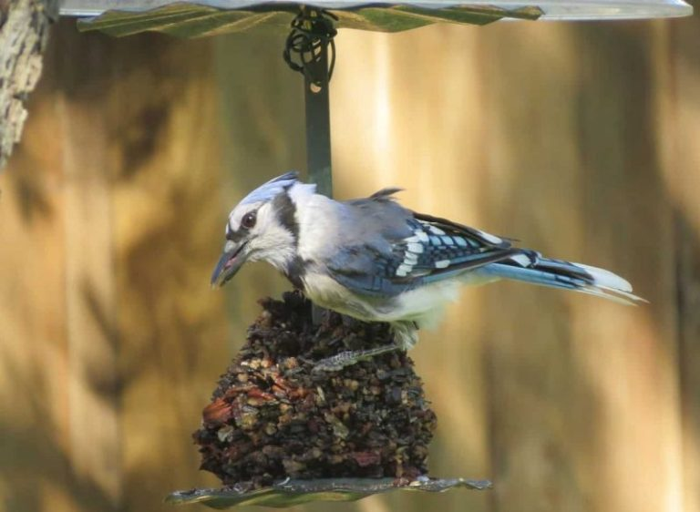 blue jays feeder