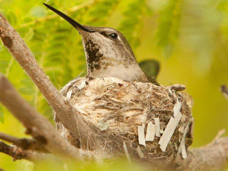 Hummingbird Nest Characteristics by Species