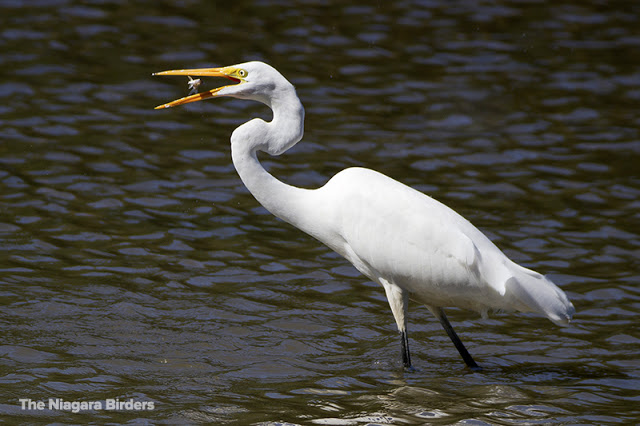 Great Egret eats fish
