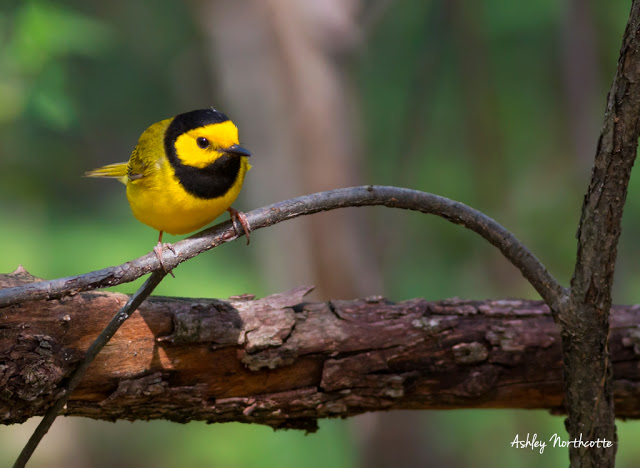 Hooded Warbler at Point Pelee