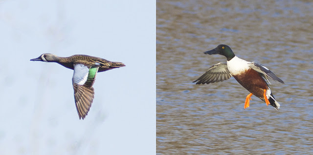 Blue-winged Teal and Northern Shoveler in Niagara