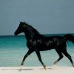Arabian Nights Page 3 The Black Stallion
