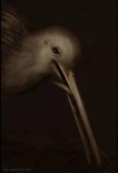 Kiwi © Cally Whitham