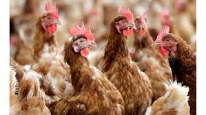 angrychickens
