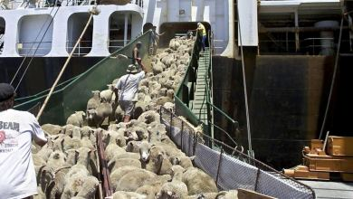 Photo of Ezeparking Team Discussion on Australian Sheep Warmth Weight on Cruise Ship