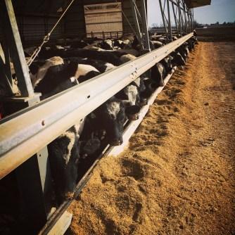 Holsteins at market weight.