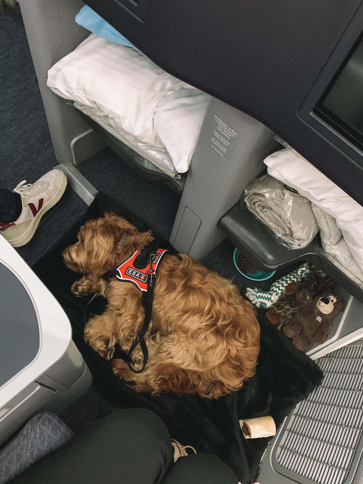Dog Traveling ESA Airplane