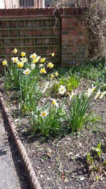 Daffodils outside.