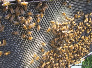 Worker bees have a wax gland that they use to build the honeycomb. https://theblondegardener.com/2016/05/01/bee-stuff/