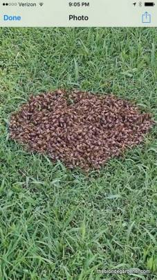 bee-swarm-in-grass