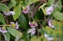 Daphne odorata 'Aureomarginata'