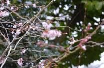 Prunus x subhirtella Autumnalis rosea'
