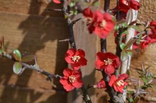 Chamaenoles x superba 'Crimson and Gold'