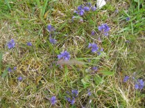 Polygala vulgaris Common Milkwort