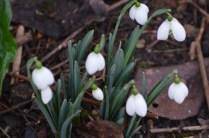 Galanthus 'Titania'