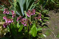Bergenia Wintermarchen'