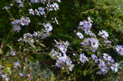 Gentiana 'Sapphire Blue'