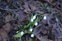 Galanthus 'Three Ships'